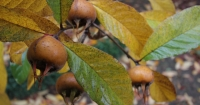 Medlars are a lovely autumn crop
