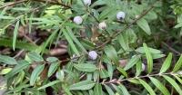 Midyim berries in Karen Sutherland's garden