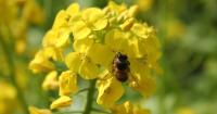 Honey bee on yellow mustard flower