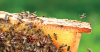 Natural honeycomb showing brood, pollen and capped honey