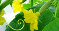 Cucumber Pollination