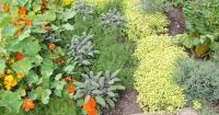 Herbs in a herb garden