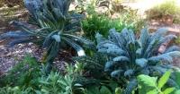 Steve's Kale, still flourishing 12 months after planting