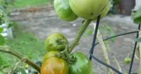The last few 'Tropic' tomatoes