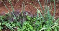 Undersown Garlic