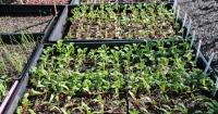 Vegie Seedlings
