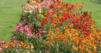 A bed of wallflowers