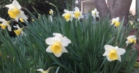Clumps of daffodils provide colour and interest in gardens through winter and spring.