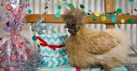 Chicken christmas gifts