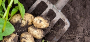 Home-grown spuds