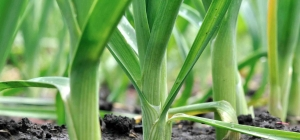 Now is a good time to plant leeks.