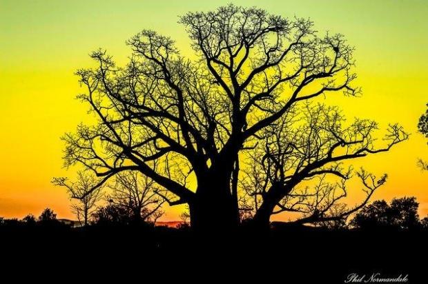 Boab Tree silouhette, Kununurra WA