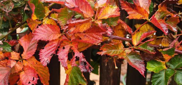 Autumn Blackberry Foliage
