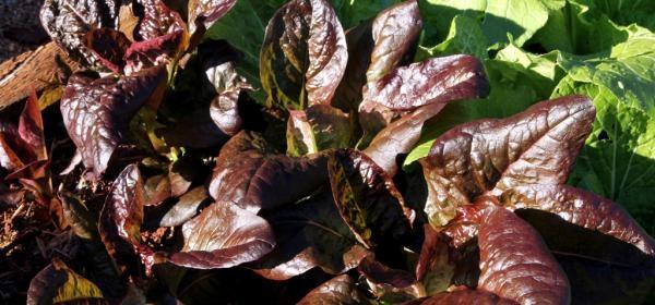 Rouge d'Hiver lettuce