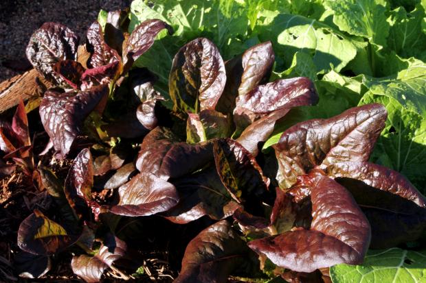Autumn Lettuce