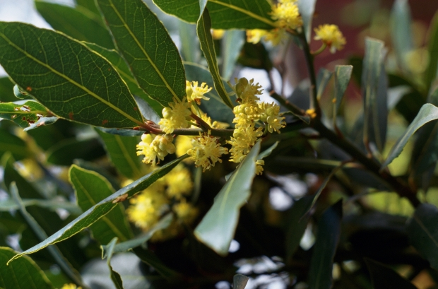 Bay tree leaves and flowers