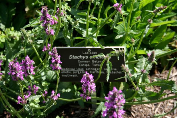 Betony flowers