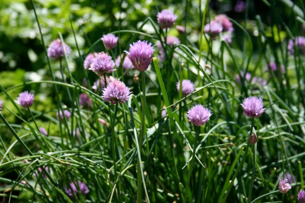 Purple chive flowers