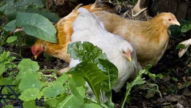 Chooks love foraging for bugs.