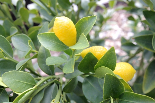 Native australian citrus