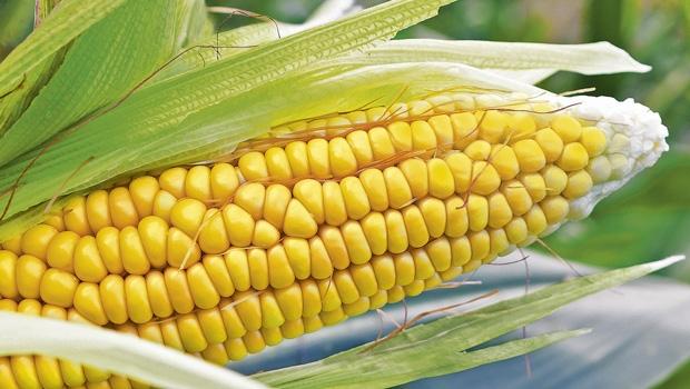 Lucious golden corn