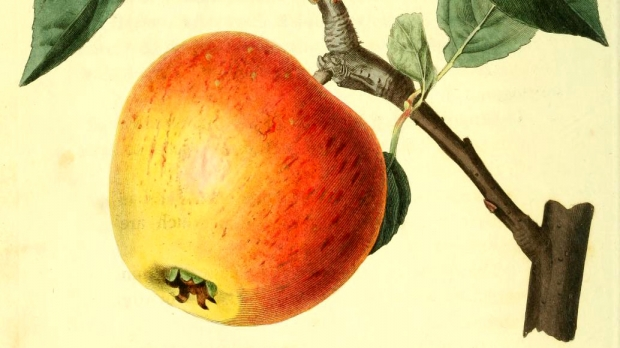 Heirloom Apple Illustration