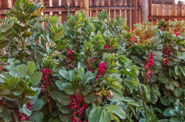Crimson Broad Beans