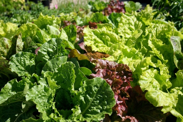 Colourful leafy lettuces