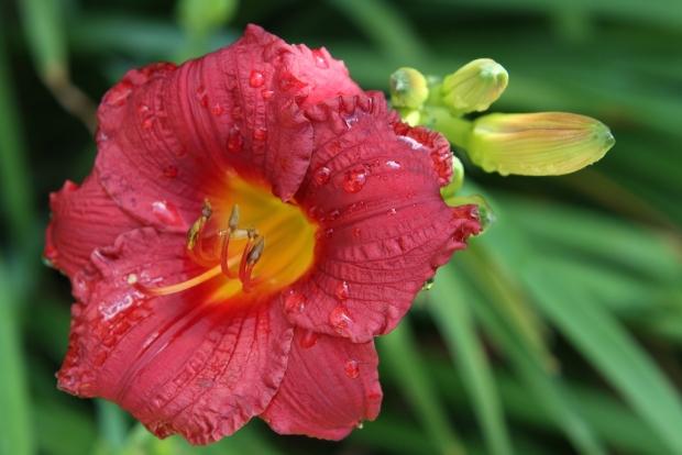 Red daylily flower