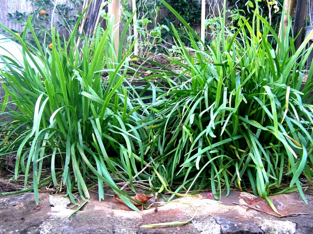 How Do You Use Your Garlic Chives Organic Gardener