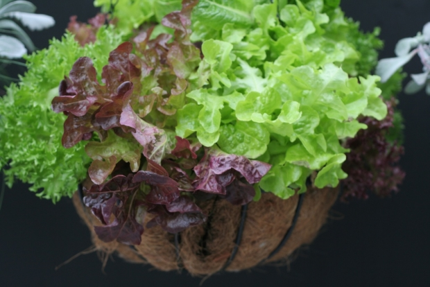 Lettuces in hanging basket