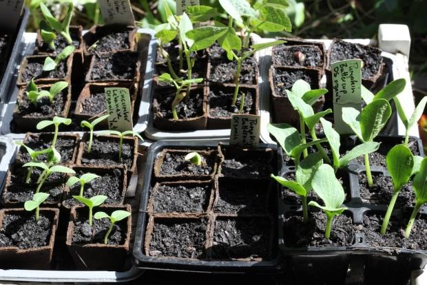Seeds sown in coir pots
