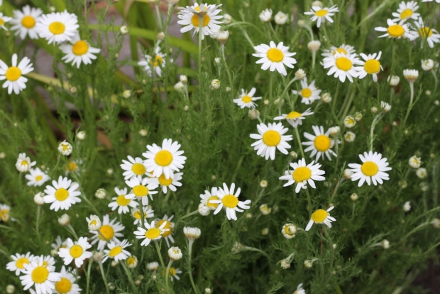 Perennial chamomile