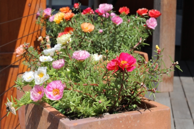 Portulaca blooming in a pot