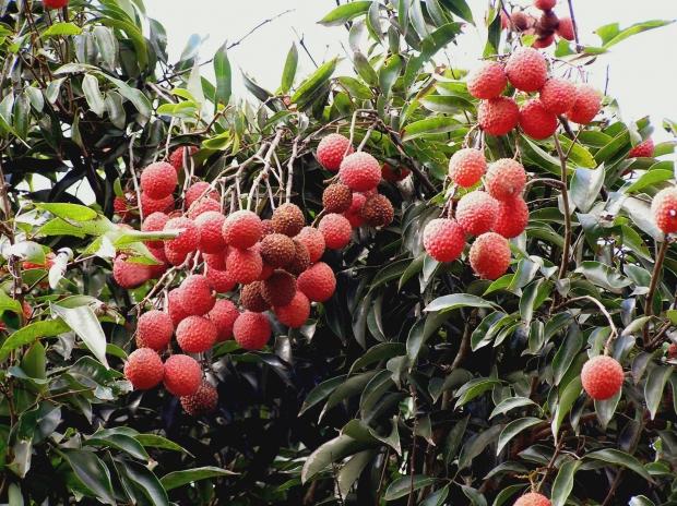 how to grow organic lychees  organic gardener magazine australia, Beautiful flower