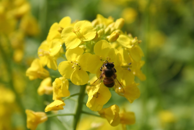 Honey bee on yellow mustard flower