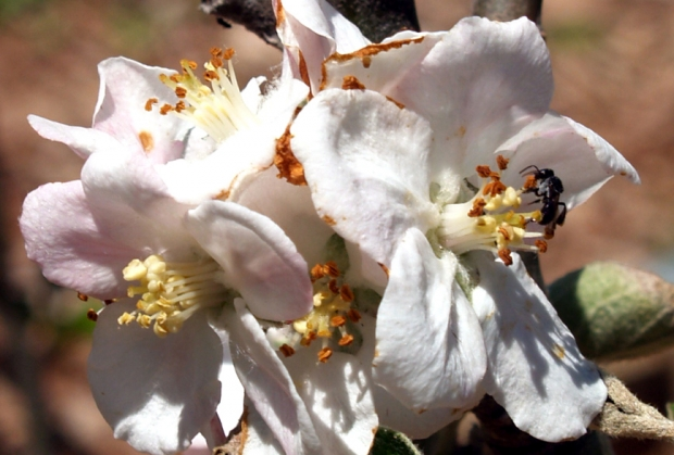 Native Bee Apple Blossom