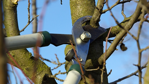 Pruning winter trees