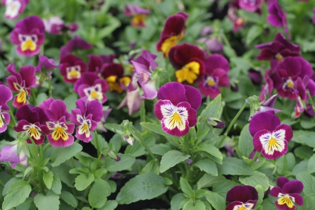 Pretty pansy faces