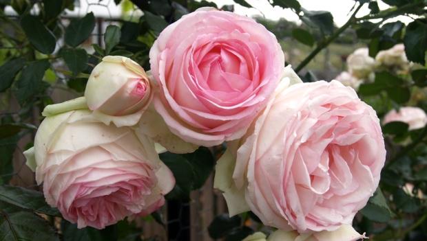 Pierre de Ronsard rose