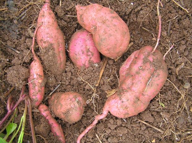 how to grow kumara in australia