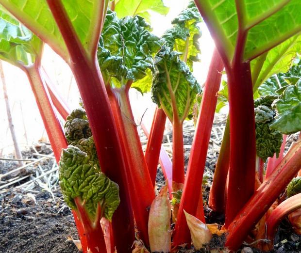 Red Rhubarb