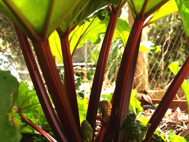 Rhubarb 'Ever Red'