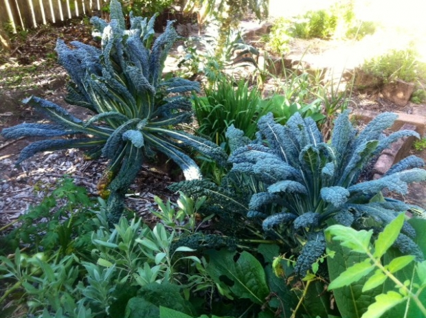 Steve's Kale, still flourishing 12 months after planting