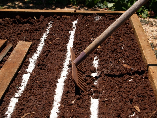 Sowing Carrots