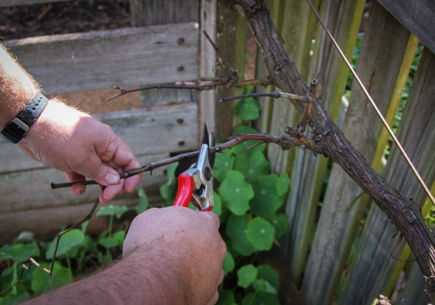 Two Bud Spur Pruning
