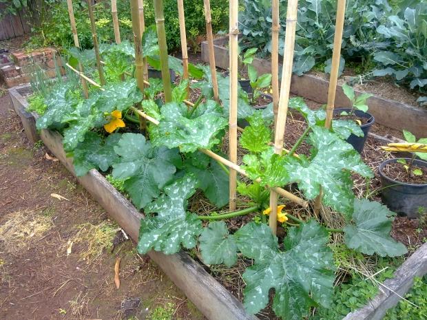 Zucchini Frame Update Organic Gardener Magazine Australia
