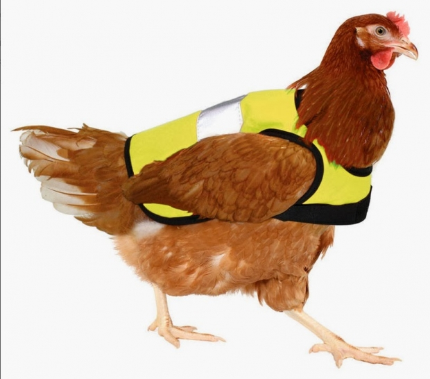 chook, high-vis jacket, chicken