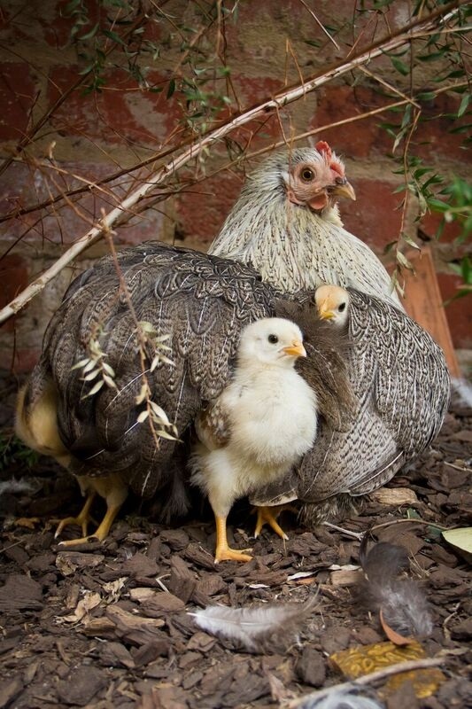 Pekin hen and chicks