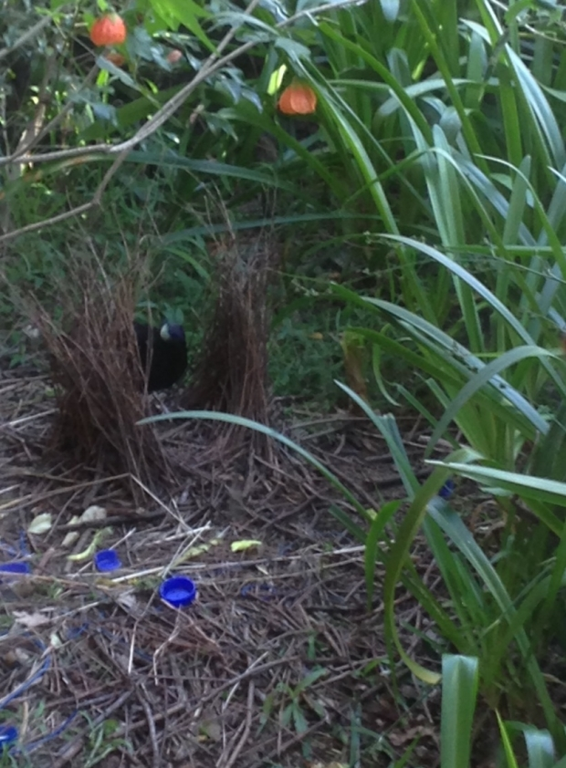Male satin bowerbird in his bower